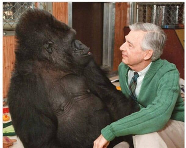 Koko The Gorilla Loved Mr. Rogers.